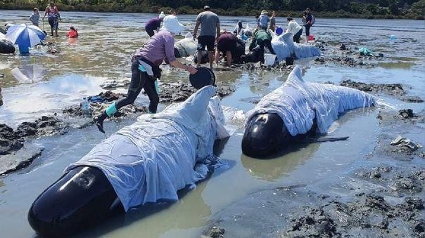 grupo-ecologista-busca-salvar-a-25-ballenas-que-quedaron-varadas-en-nueva-zelanda